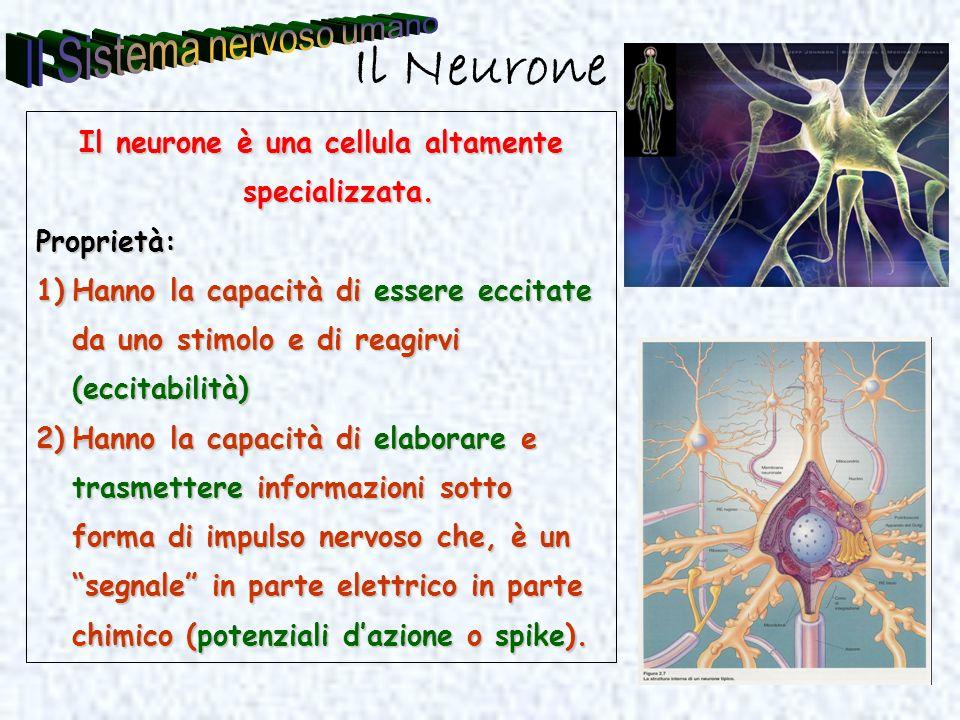 Il neurone è una cellula altamente specializzata.