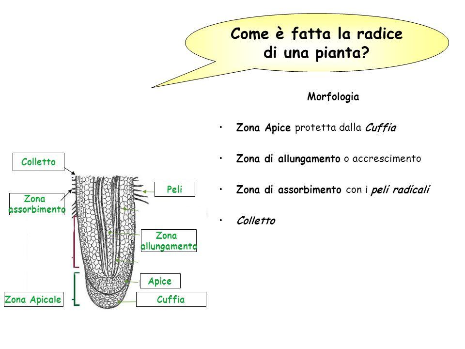 Come è fatta la radice di una pianta