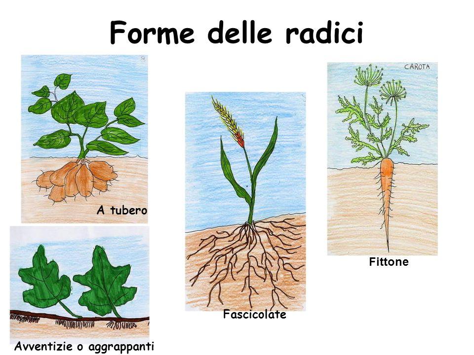 Forme delle radici A tubero Fittone Fascicolate