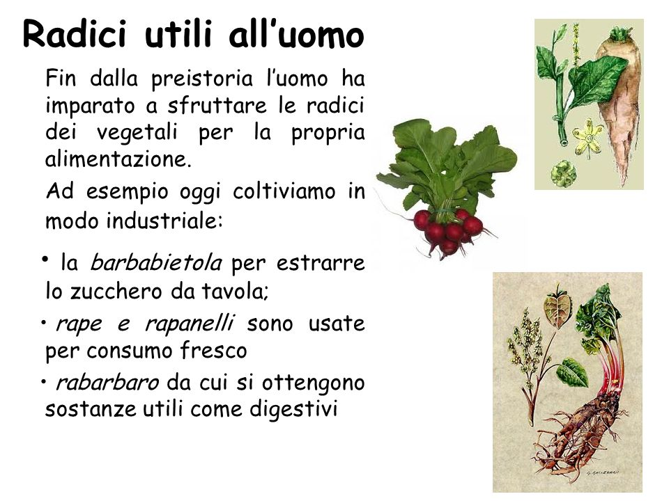 Radici utili all'uomo Fin dalla preistoria l'uomo ha imparato a sfruttare le radici dei vegetali per la propria alimentazione.