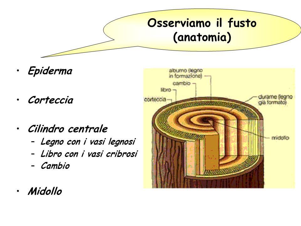 Osserviamo il fusto (anatomia)