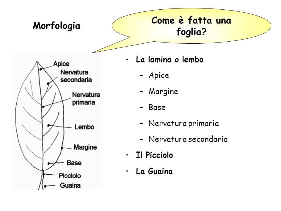 Morfologia Come è fatta una foglia La lamina o lembo Apice Margine