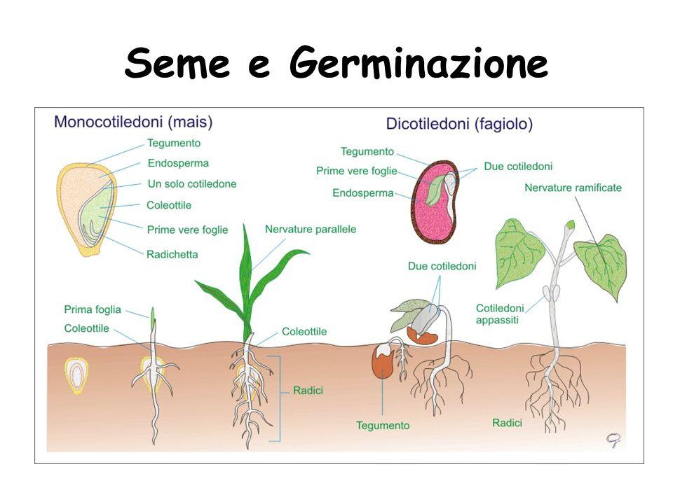 Seme e Germinazione