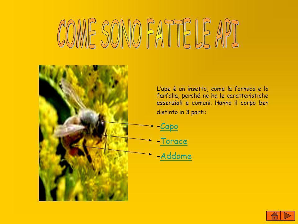 COME SONO FATTE LE API -Capo Torace Addome