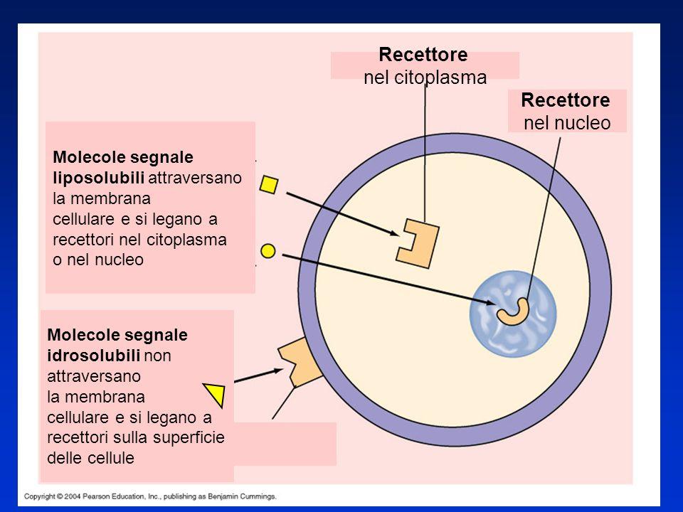 Recettore nel citoplasma nel nucleo Molecole segnale
