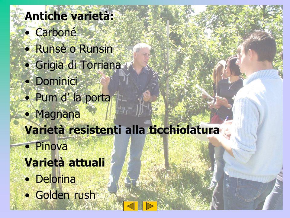 Antiche varietà: Carboné. Runsè o Runsin. Grigia di Torriana. Dominici. Pum d' la porta. Magnana.