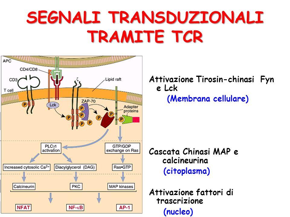 SEGNALI TRANSDUZIONALI TRAMITE TCR
