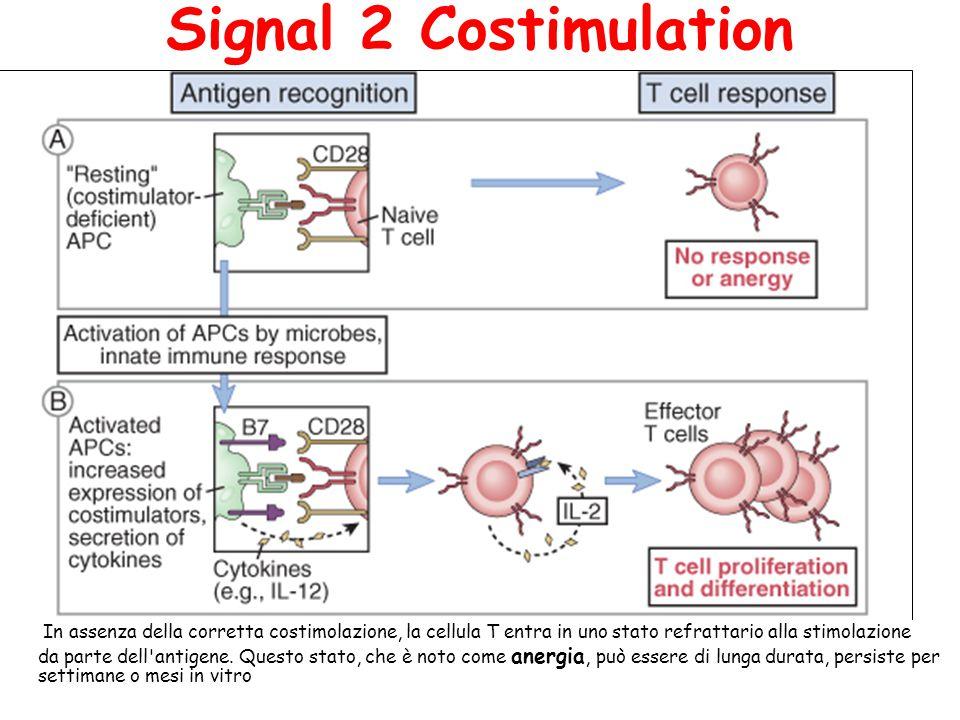 Signal 2 Costimulation In assenza della corretta costimolazione, la cellula T entra in uno stato refrattario alla stimolazione.