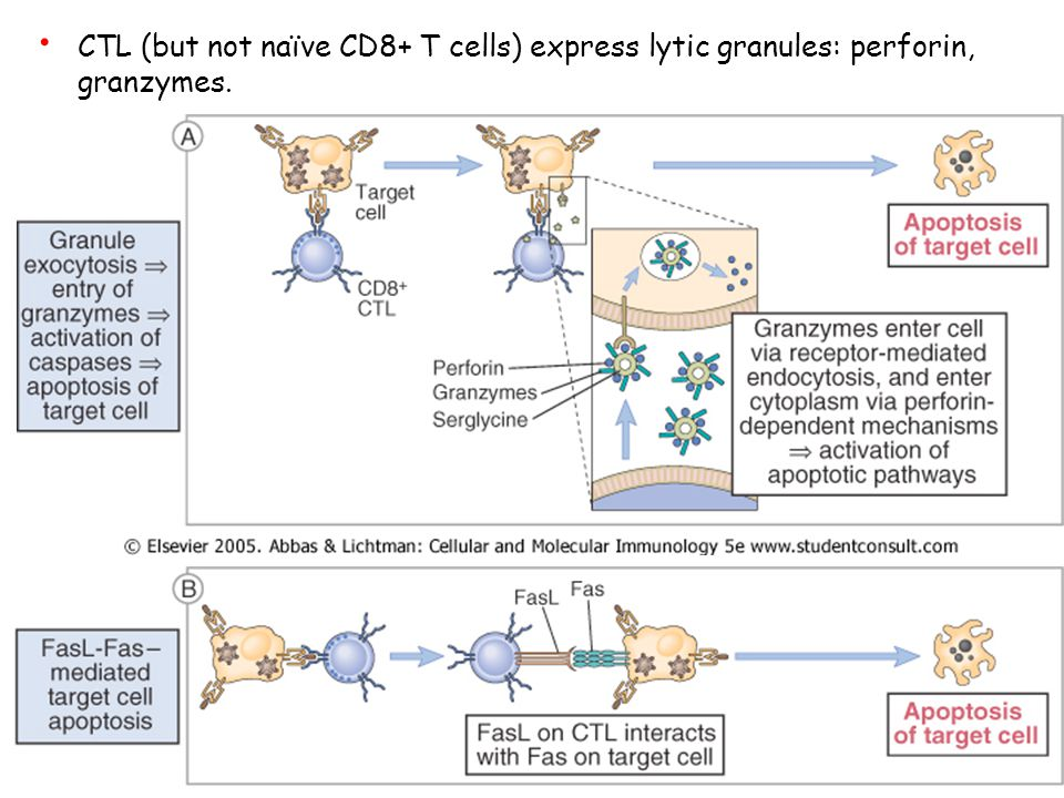 CTL (but not naïve CD8+ T cells) express lytic granules: perforin, granzymes.