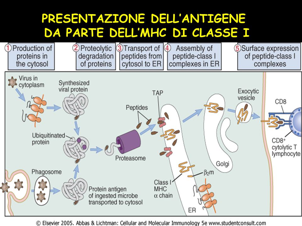 PRESENTAZIONE DELL'ANTIGENE DA PARTE DELL'MHC DI CLASSE I