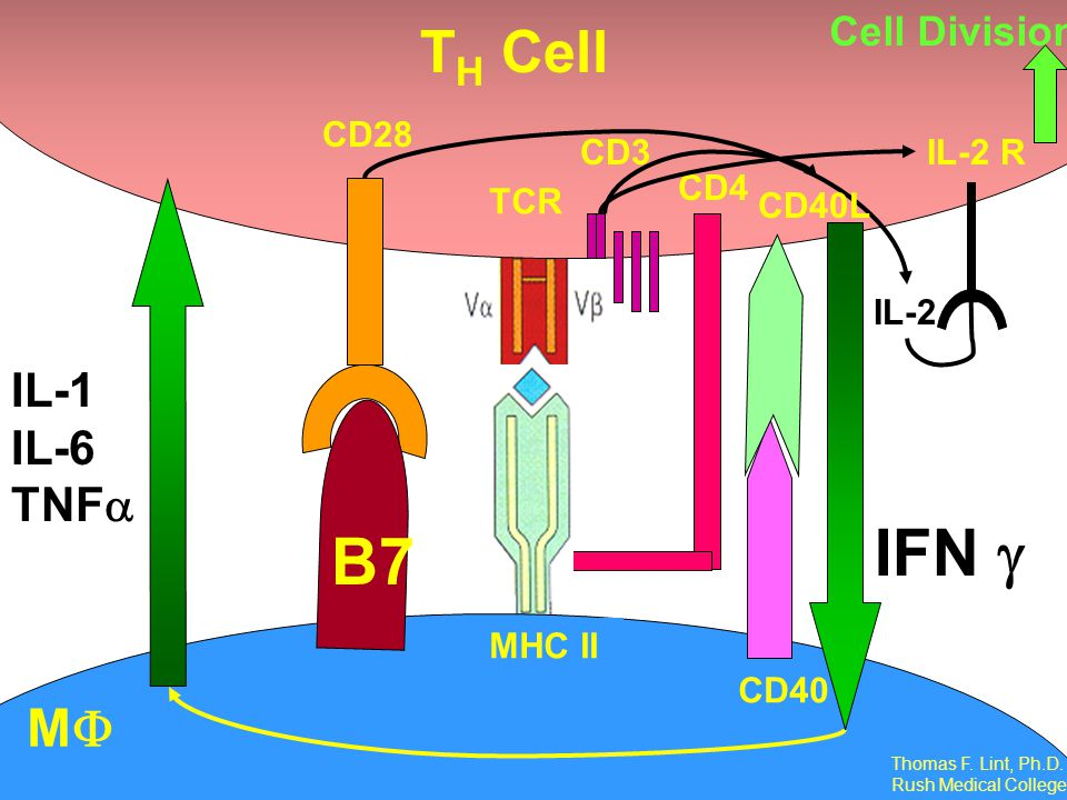 IFN g B7 TH Cell MF IL-1 IL-6 TNFa Cell Division TCR CD3 CD28 CD4