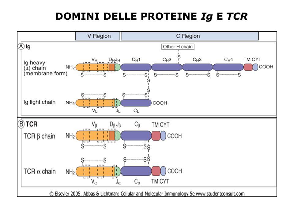 DOMINI DELLE PROTEINE Ig E TCR