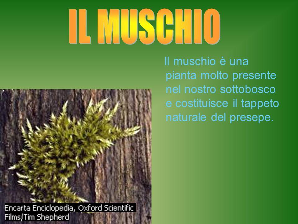IL MUSCHIO Il muschio è una pianta molto presente nel nostro sottobosco e costituisce il tappeto naturale del presepe.