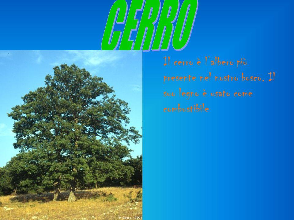 CERRO Il cerro è l'albero più presente nel nostro bosco. Il suo legno è usato come combustibile