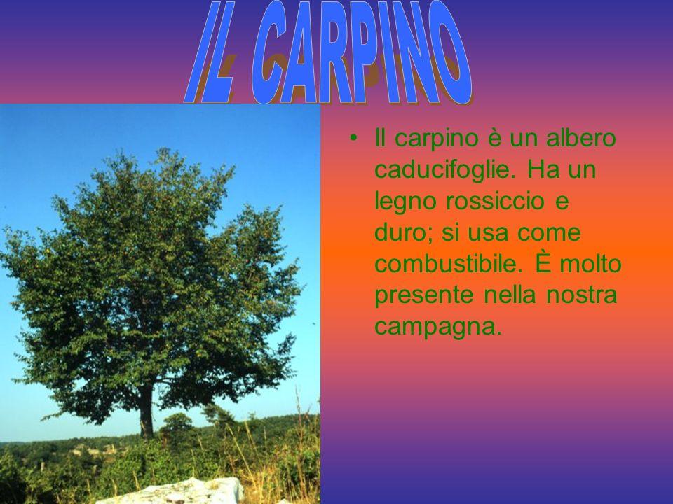 IL CARPINO Il carpino è un albero caducifoglie.