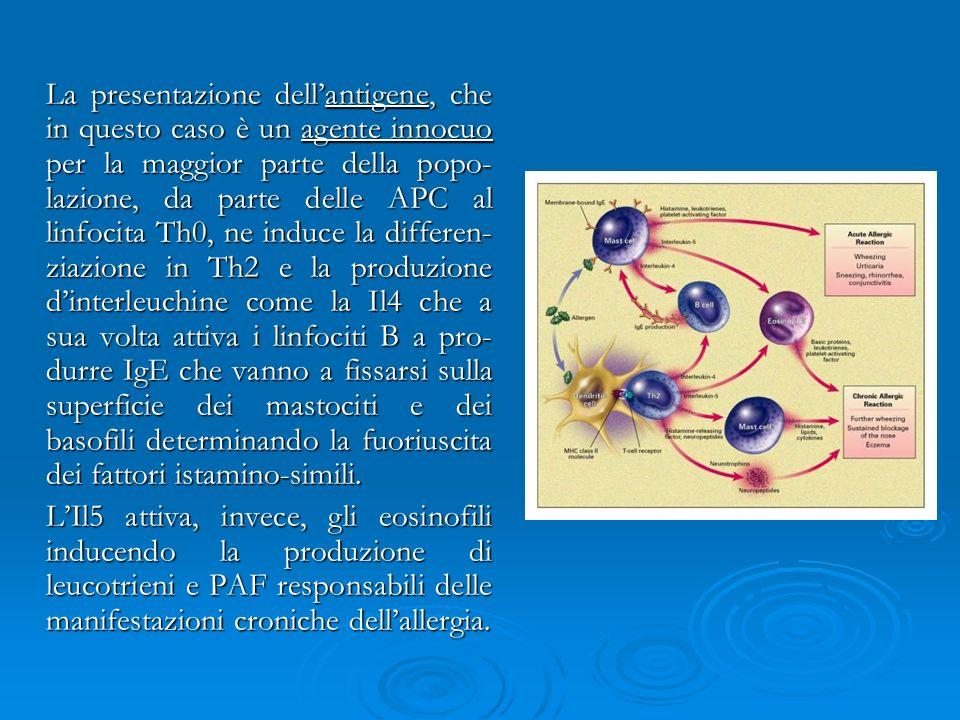 La presentazione dell'antigene, che in questo caso è un agente innocuo per la maggior parte della popo-lazione, da parte delle APC al linfocita Th0, ne induce la differen-ziazione in Th2 e la produzione d'interleuchine come la Il4 che a sua volta attiva i linfociti B a pro-durre IgE che vanno a fissarsi sulla superficie dei mastociti e dei basofili determinando la fuoriuscita dei fattori istamino-simili.