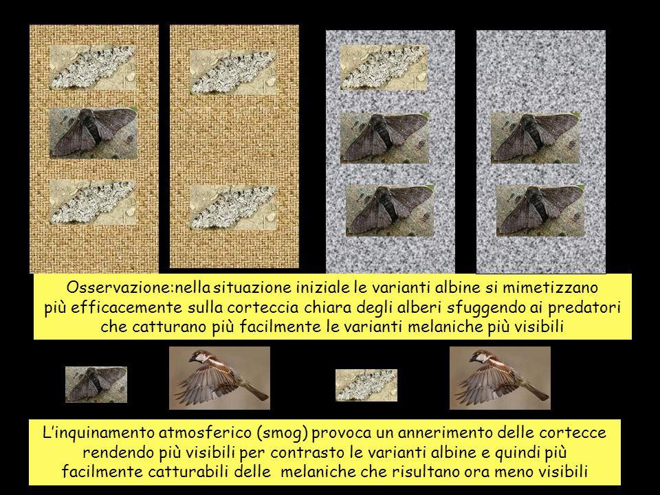 Osservazione:nella situazione iniziale le varianti albine si mimetizzano più efficacemente sulla corteccia chiara degli alberi sfuggendo ai predatori che catturano più facilmente le varianti melaniche più visibili