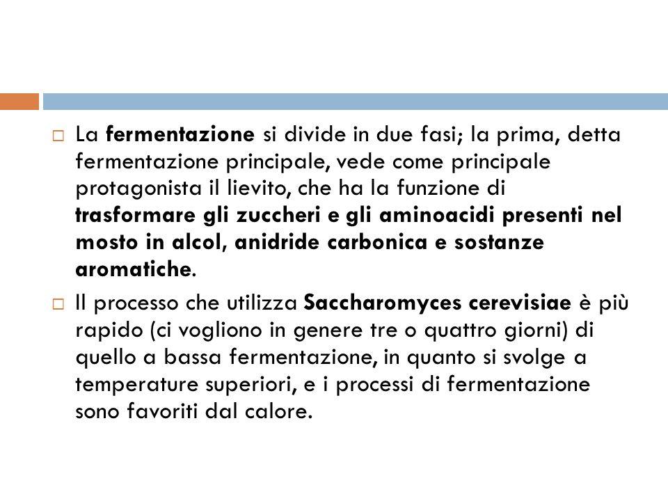 La fermentazione si divide in due fasi; la prima, detta fermentazione principale, vede come principale protagonista il lievito, che ha la funzione di trasformare gli zuccheri e gli aminoacidi presenti nel mosto in alcol, anidride carbonica e sostanze aromatiche.