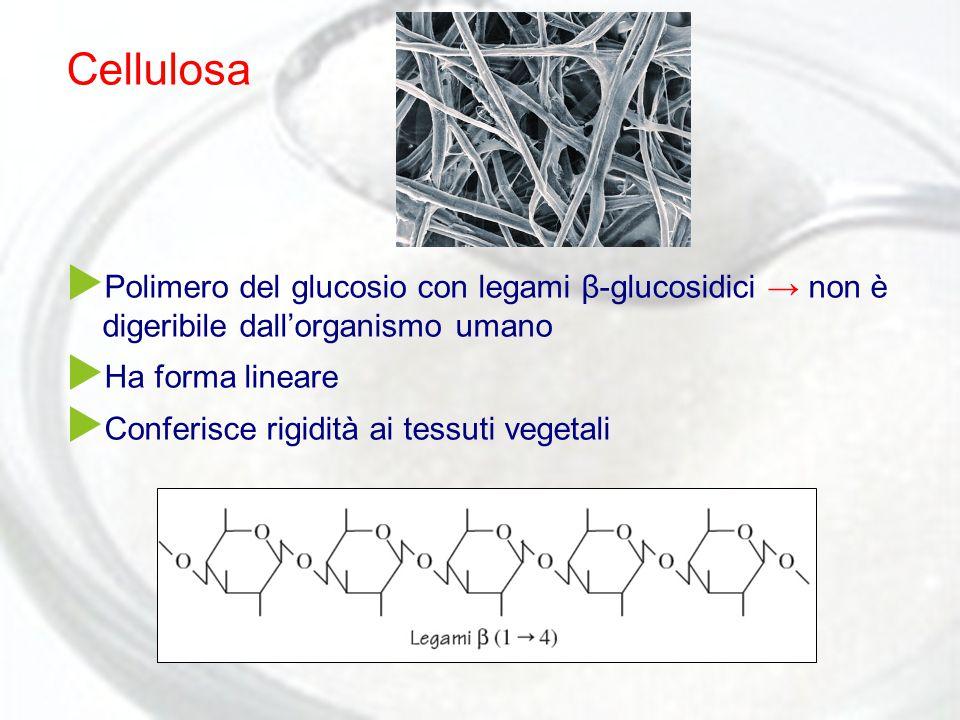 Cellulosa Polimero del glucosio con legami β-glucosidici → non è digeribile dall'organismo umano. Ha forma lineare.