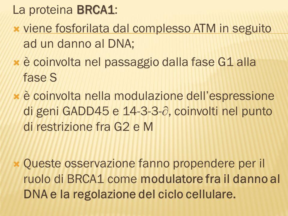 La proteina BRCA1: viene fosforilata dal complesso ATM in seguito ad un danno al DNA; è coinvolta nel passaggio dalla fase G1 alla fase S.
