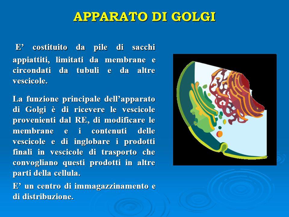 APPARATO DI GOLGI E' costituito da pile di sacchi appiattiti, limitati da membrane e circondati da tubuli e da altre vescicole.