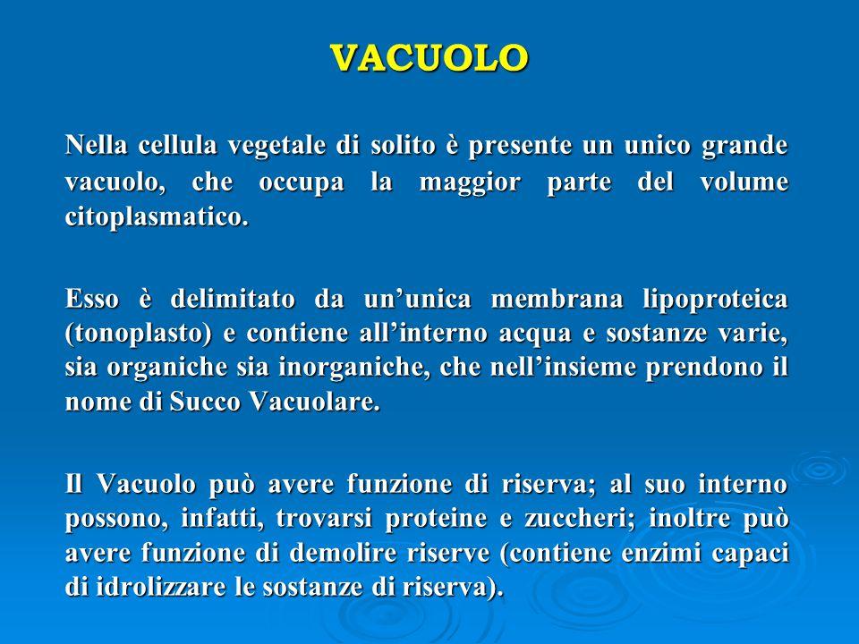 VACUOLO Nella cellula vegetale di solito è presente un unico grande vacuolo, che occupa la maggior parte del volume citoplasmatico.