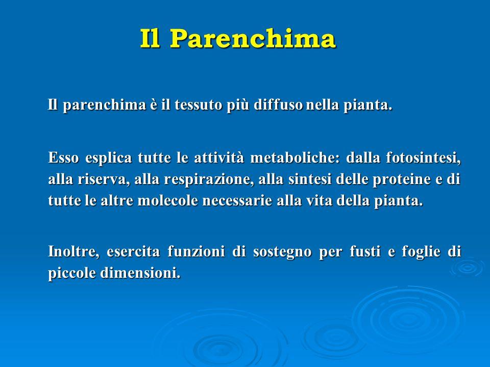 Il Parenchima Il parenchima è il tessuto più diffuso nella pianta.