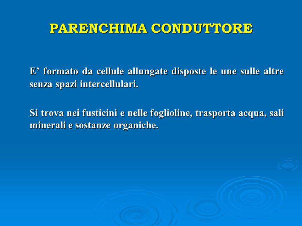 PARENCHIMA CONDUTTORE