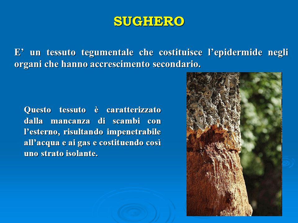 SUGHERO E' un tessuto tegumentale che costituisce l'epidermide negli organi che hanno accrescimento secondario.