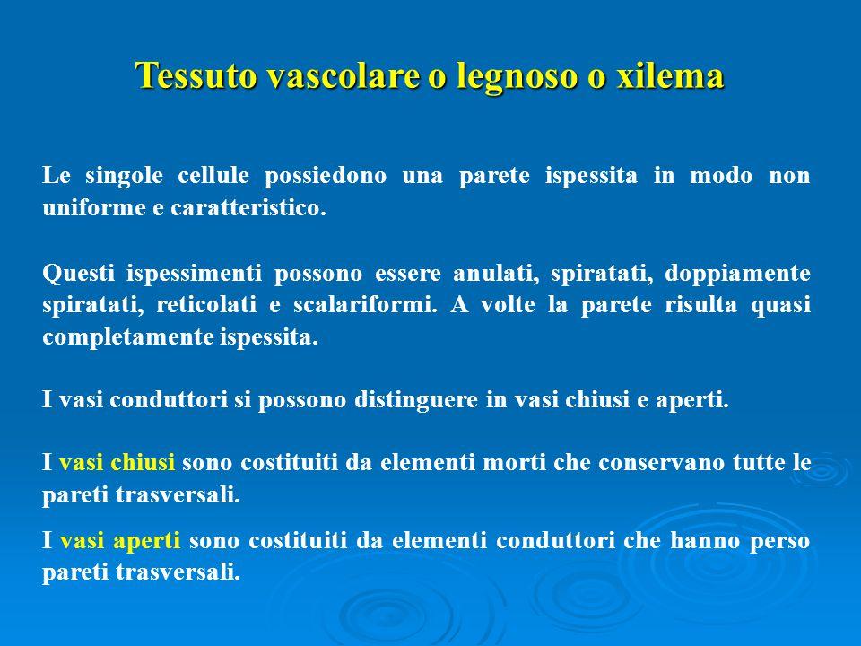 Tessuto vascolare o legnoso o xilema