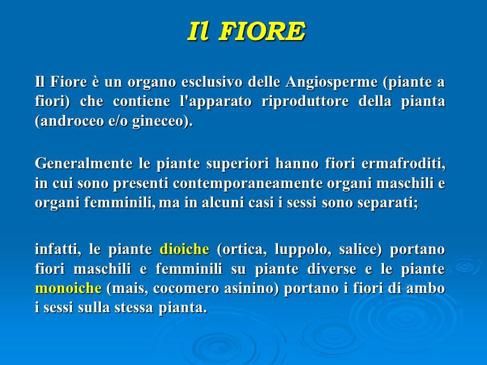 Il FIORE Il Fiore è un organo esclusivo delle Angiosperme (piante a fiori) che contiene l apparato riproduttore della pianta (androceo e/o gineceo).