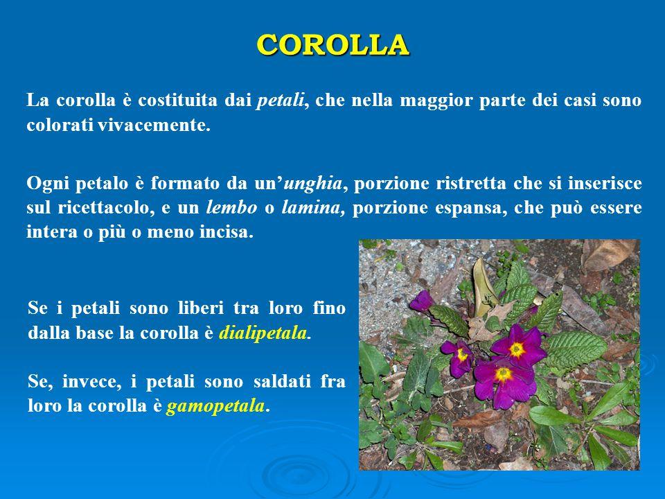 COROLLA La corolla è costituita dai petali, che nella maggior parte dei casi sono colorati vivacemente.