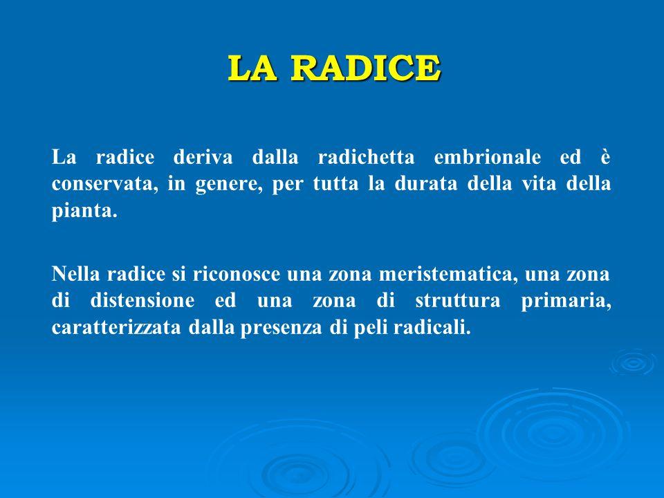 LA RADICE La radice deriva dalla radichetta embrionale ed è conservata, in genere, per tutta la durata della vita della pianta.