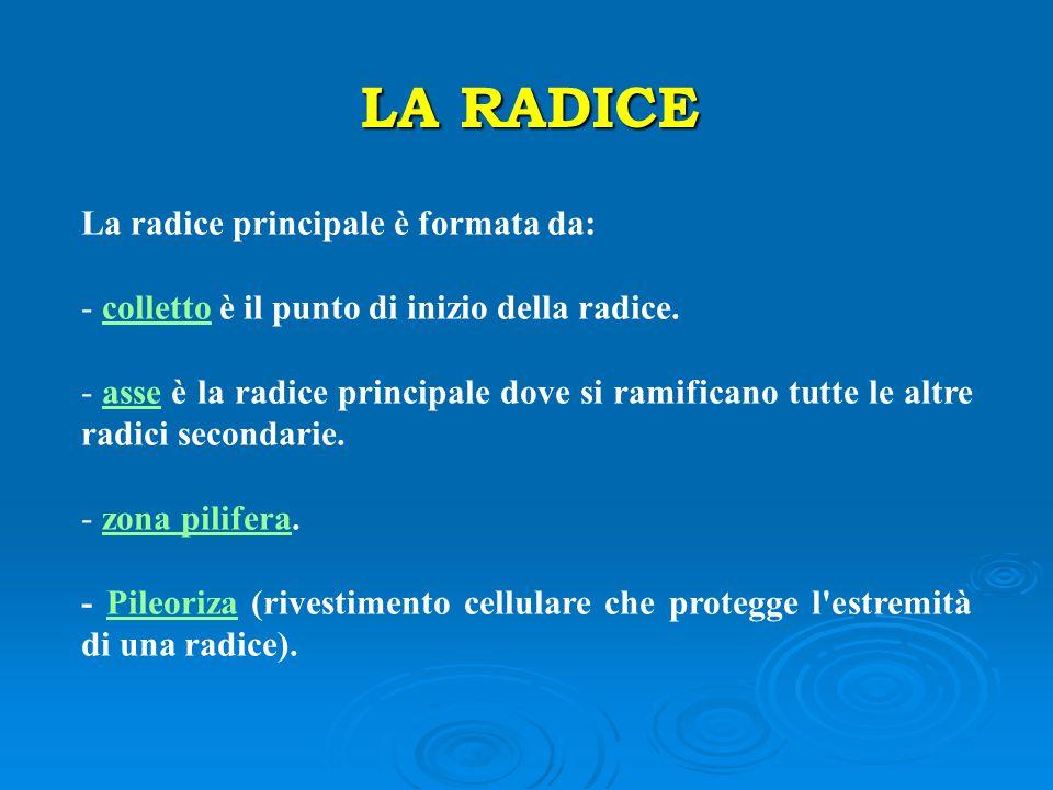 LA RADICE La radice principale è formata da: