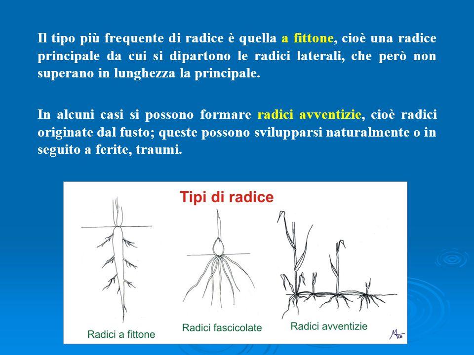 Il tipo più frequente di radice è quella a fittone, cioè una radice principale da cui si dipartono le radici laterali, che però non superano in lunghezza la principale.
