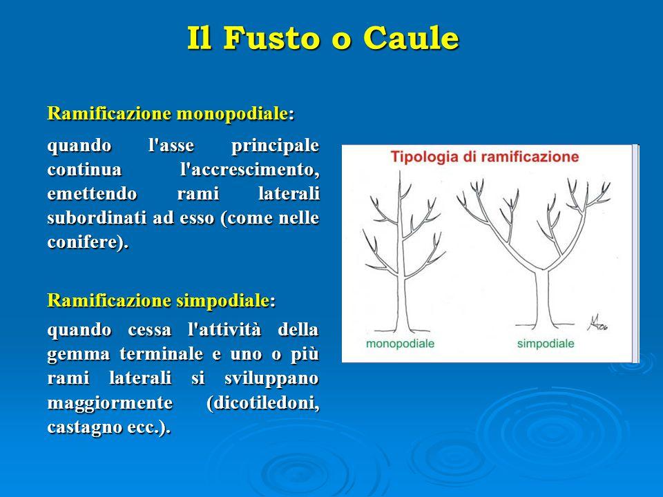 Il Fusto o Caule Ramificazione monopodiale: Ramificazione simpodiale: