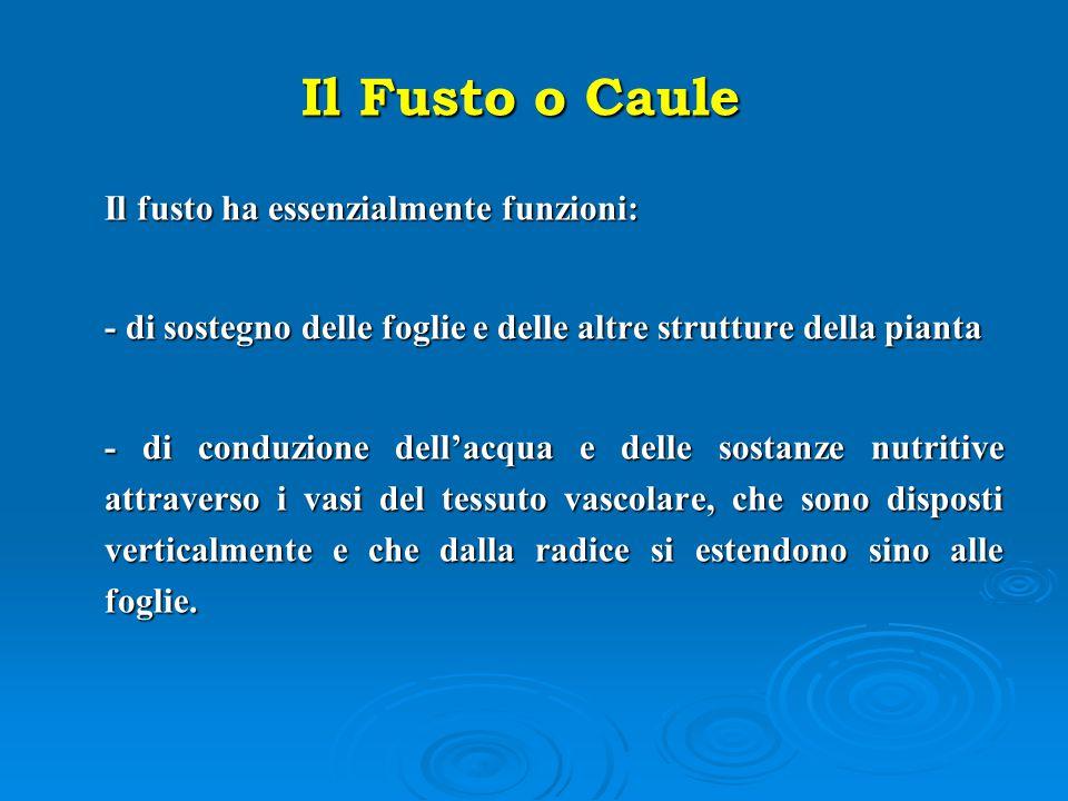 Il Fusto o Caule Il fusto ha essenzialmente funzioni: