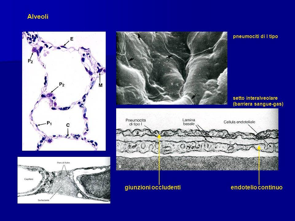 Alveoli giunzioni occludenti endotelio continuo pneumociti di I tipo