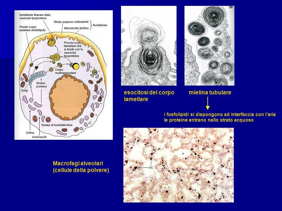 esocitosi del corpo mielina tubulare lamellare