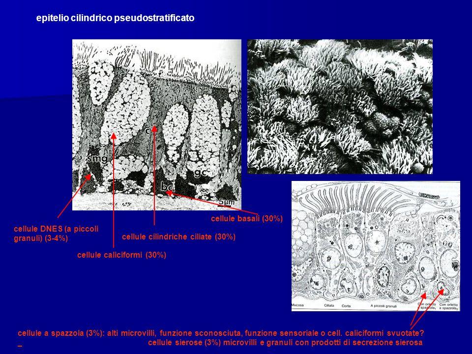 epitelio cilindrico pseudostratificato
