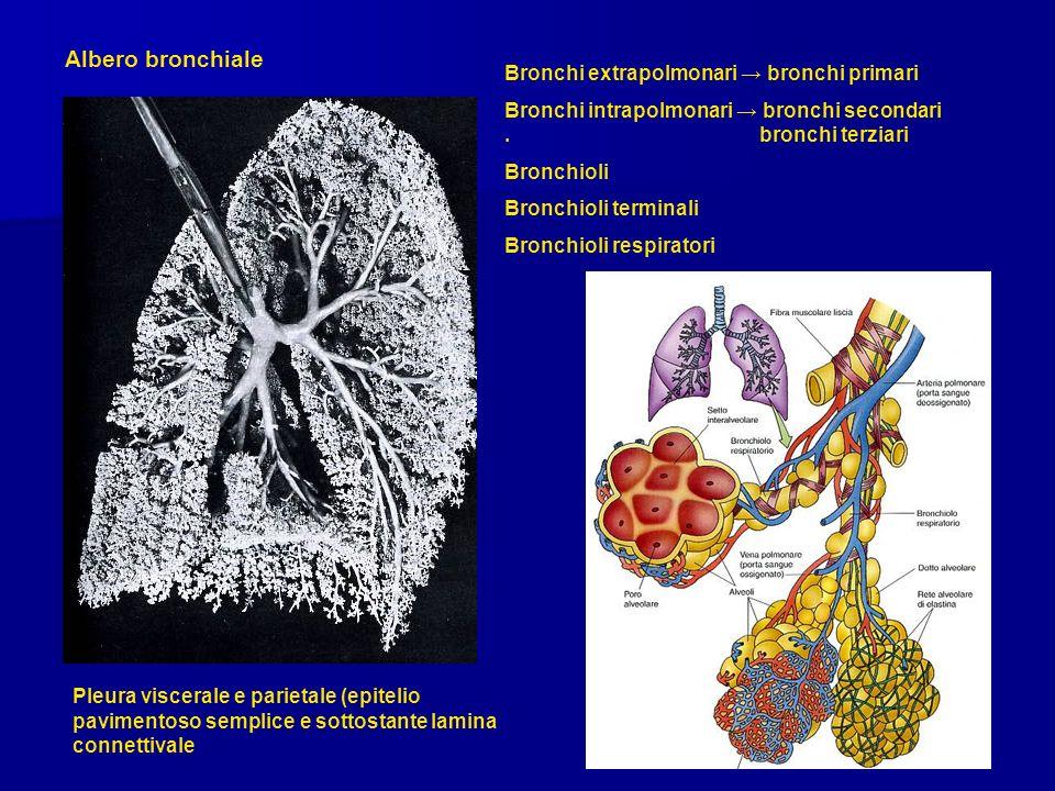 Albero bronchiale Bronchi extrapolmonari → bronchi primari