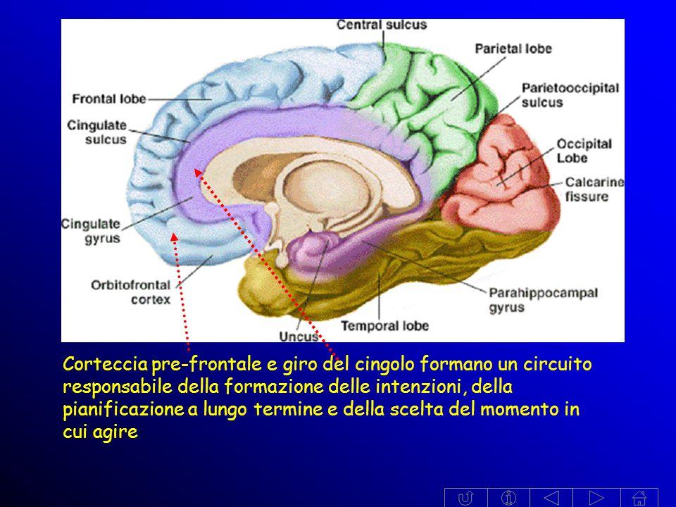 Corteccia pre-frontale e giro del cingolo formano un circuito responsabile della formazione delle intenzioni, della pianificazione a lungo termine e della scelta del momento in cui agire