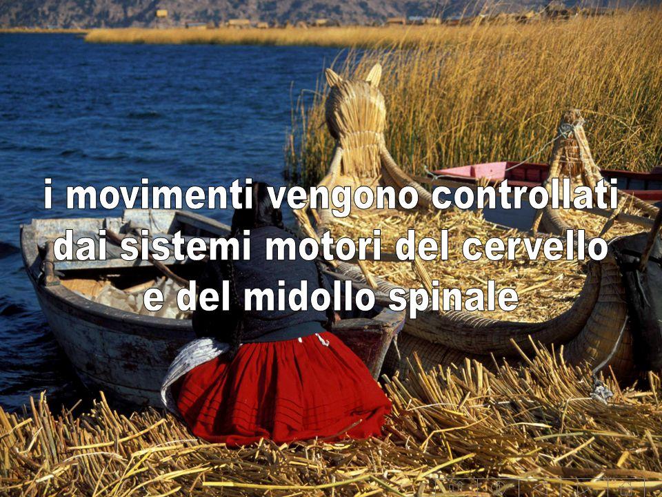 i movimenti vengono controllati dai sistemi motori del cervello
