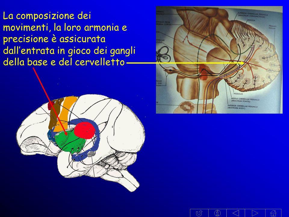 La composizione dei movimenti, la loro armonia e precisione è assicurata dall'entrata in gioco dei gangli della base e del cervelletto