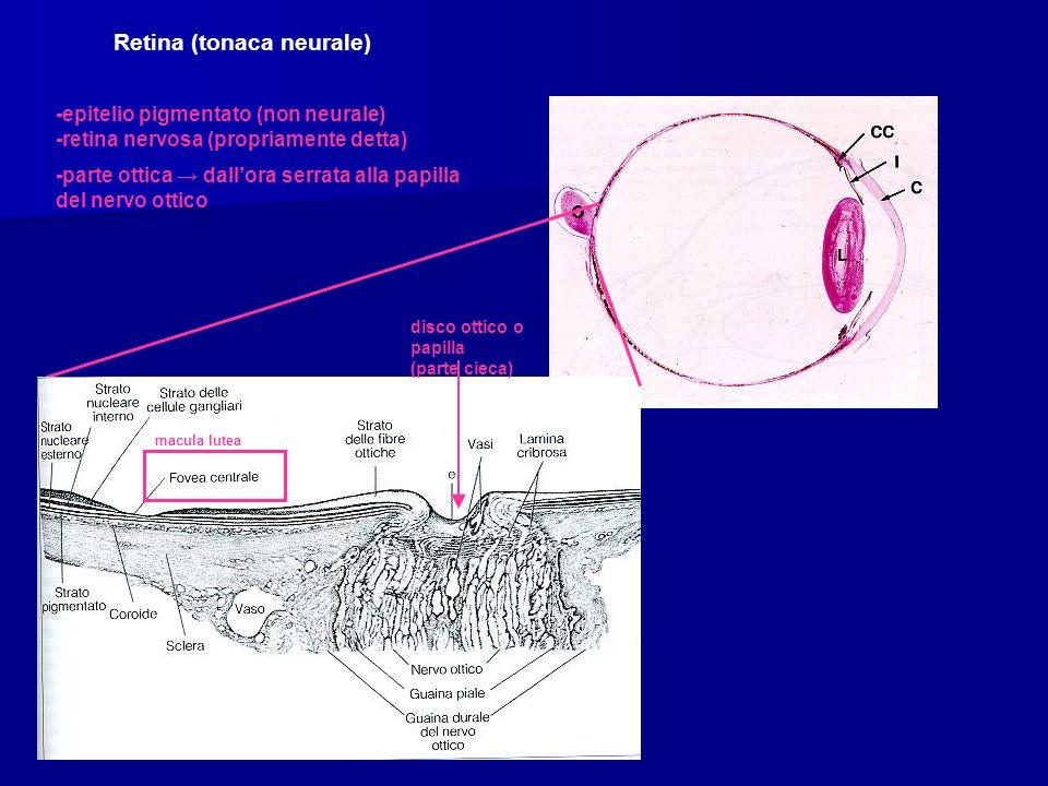 Retina (tonaca neurale)
