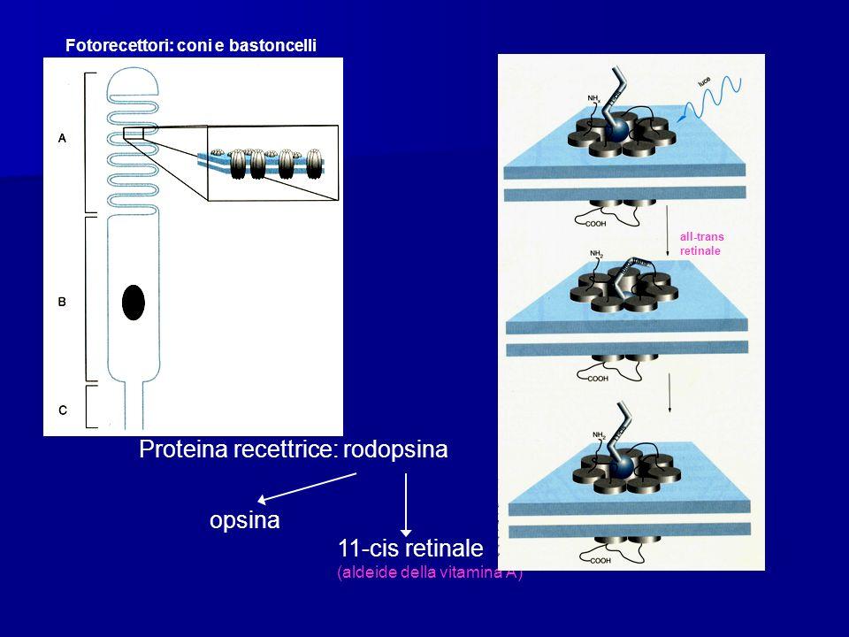 Proteina recettrice: rodopsina