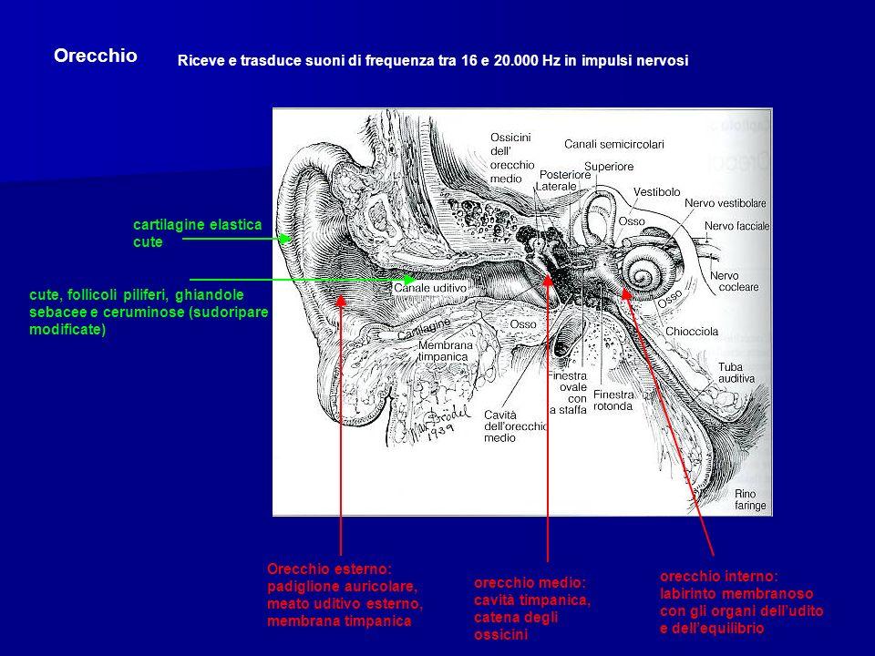Orecchio Riceve e trasduce suoni di frequenza tra 16 e 20.000 Hz in impulsi nervosi. cartilagine elastica cute.