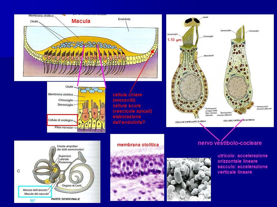 nervo vestibolo-cocleare
