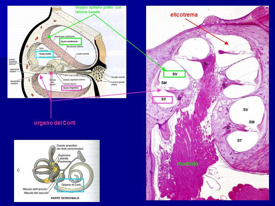 elicotrema organo del Corti modiolo