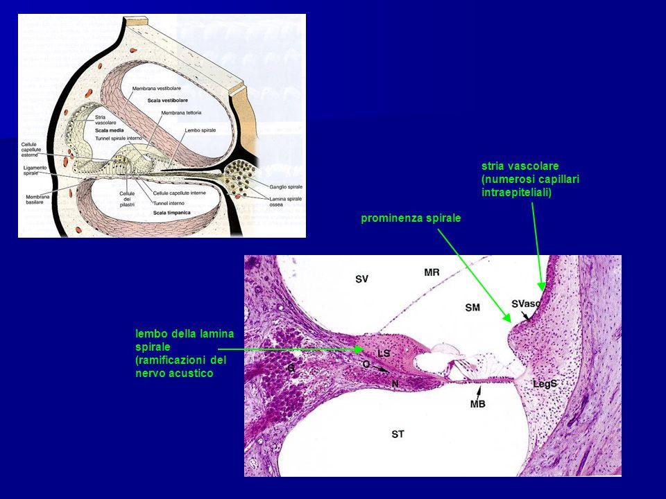 stria vascolare (numerosi capillari intraepiteliali)